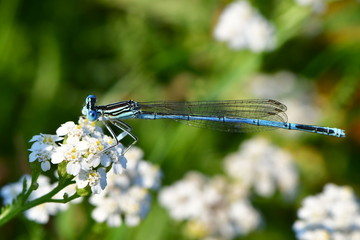 male of white-legged damselfly or blue featherleg (Platycnemis pennipes)