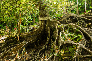 Huge tree with roots balinese temple Goa Gajah, Elephant Cave in Bali, Unesco in Indonesia