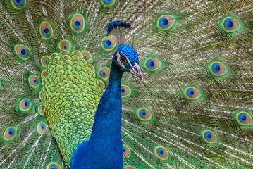 Pavão Indiano / Indian Peafowl (Pavo cristatus)