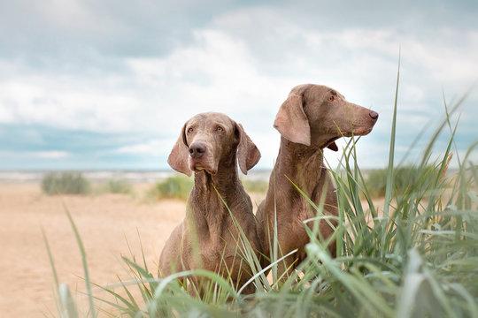 Two Weimaranera sit on the beach