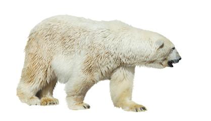 Polar bear on white background