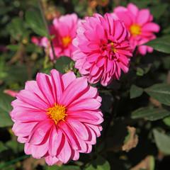 Dahlia décoratif rose