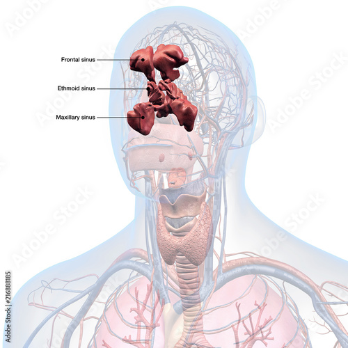 Sinus Anatomy Labeled In Mans Head Stock Photo And Royalty Free