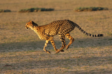 The female of cheetah (Acinonyx jubatus) is running fast in the dry river bed in the desert