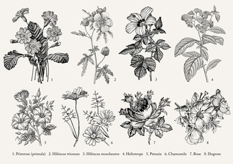 Botany. Set vintage realistic isolated flowers. Nature. Drawing engraving. Vector victorian Illustration. Primrose, Hibiscus, Heliotrope, Petunia, Chamomile, Rose, Dogrose. Wall mural