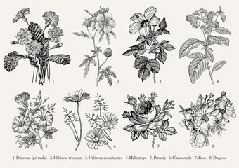 Botany. Set vintage realistic isolated flowers. Nature. Drawing engraving. Vector victorian Illustration. Primrose, Hibiscus, Heliotrope, Petunia, Chamomile, Rose, Dogrose.