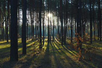 Pine trees forest backlighted by golden sunlight before sunset with sun rays pouring through trees, casting a shadow on forest floor illuminating tree branches.