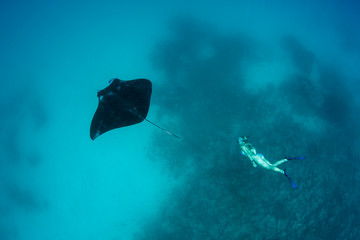 Manta Ray and Free Diver in Blue Water