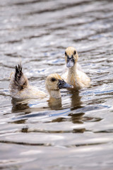 Adolescent juvenile muscovoy duckling Cairina moschata before feathers are fully formed