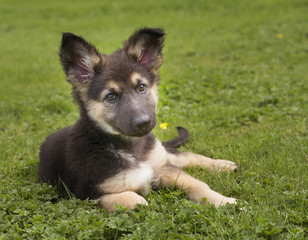 Cute german shepherd puppy in grass
