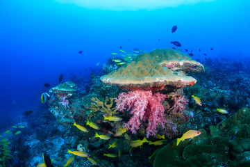 Beautiful tropical fish swimming around a brightly colored, healthy tropical coral reef