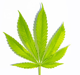 Vibrant green Cannabis leaf isolated on white ground with shadow cast