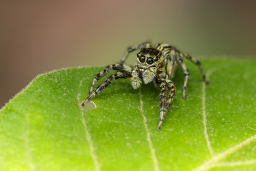 Image of Jumping spiders(Salticidae) on green leaves. Insect. Animal.