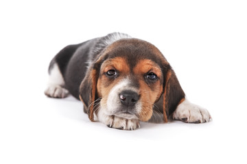 Beagle puppy laying down