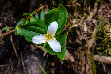 Trillium Flower in the Colville National Forest