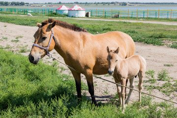 Small horse with mother
