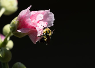 Hollyhock Flower Not Fully Open with Honey Bee. Black background has copy space.