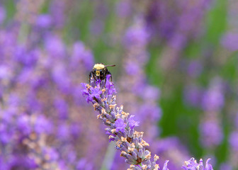 Bumble bee collecting pollen from french lavender flowers, facing forwards. Bumblebees have round bodies covered in soft hair called pile, making them appear and feel fuzzy.