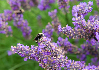 Bumble bee collecting pollen from french lavender flowers. Bumblebees have round bodies covered in soft hair called pile, making them appear and feel fuzzy.