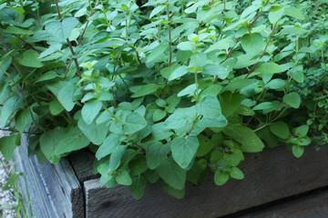 zioła prosto z ogródka