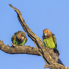 Cape Parrot in Kruger National park, South Africa ; Specie Poicephalus robustus family of Psittacidae