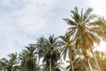 Beautiful coconut palm trees and sky in agriculture farm at Thailand