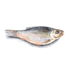 Dry fish isolated on white background. Watercolor illustration