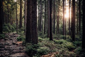 Die Sonne scheint durch den dichten Naturwald im Harz