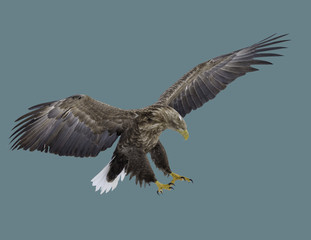 Eagle with a white tail.