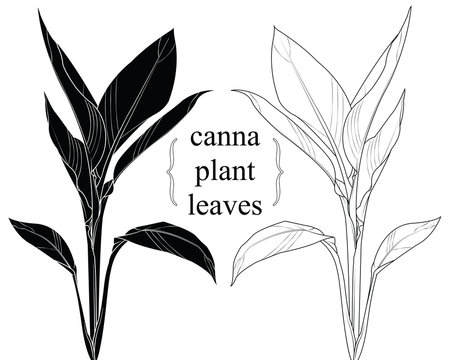 Hand drawn silhouette canna leaves.