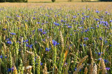 Kornblumen im Weizenfeld