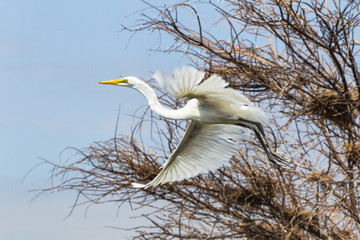 The heron flies among the trees. Lake Baringo, Kenya