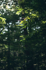 Leaves of trees in sunlight in forest.