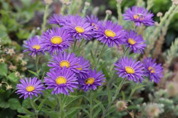 Alpen-Aster (Aster alpinus) mit Blüten