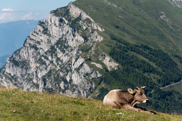 Cattle with view of Dolomites from Monte Baldo