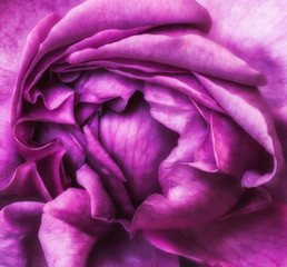 Fine art still life colorful flower top view macro of the inner of a single isolated blooming violet rose blossom with detailed texture