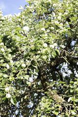 apple tree full of green apples