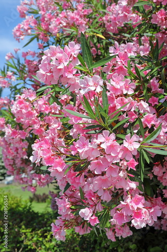 Nerium Oleander Bush With Pink Flowers Oleander Close Up Stock