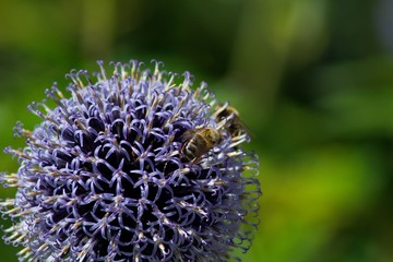 Bees collects POLLEN FROM Echinops ritro.Echinops ritro, the southern globethistle, is a species of flowering plant in the sunflower family, native to southern and eastern Europe.