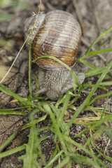 common snail walks in the grass