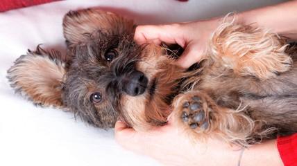 Massaggio e carezze cane bassotto