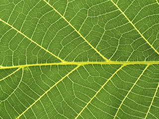 Close-up of a green leaf, leaf veins Fotoväggar