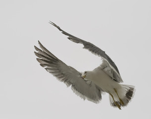 Flying seagull over overcast sky.