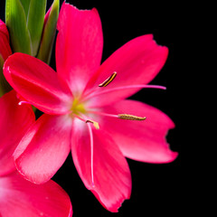 Pink River Lily