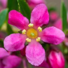 Pink Escallonia
