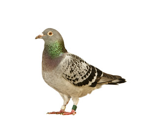 full body of speed racing pigeon isolate white background