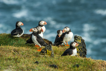 Puffin, Heimaey coast, South Iceland