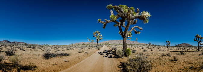 Wall Mural - Panorama of Sandy Desert Road with Joshua Trees