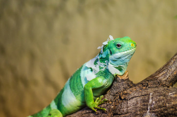 Iguana in Jihlava zoo, Czech republic