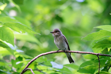 Spotted flycatcher sitting and singing on branch of tree in forest. Cute little brown songbird. Bird in wildlife.